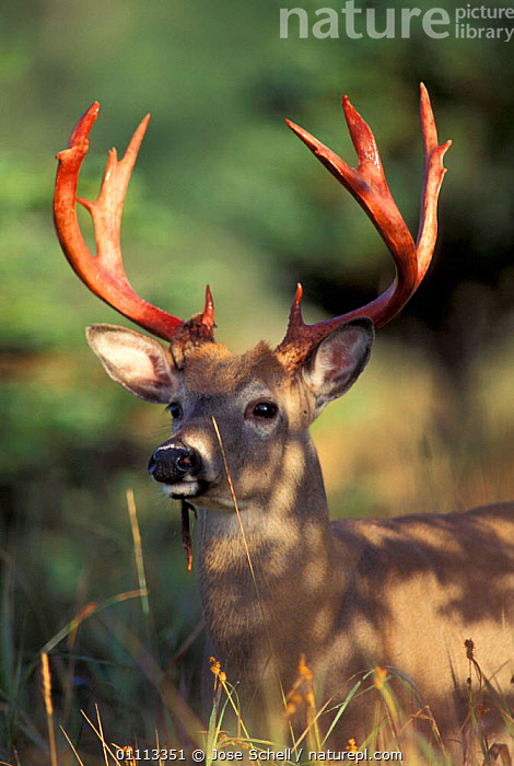 Male Whitetail deer after antlers have shed velvet {Odocoileus virginianus} Canada,  ,  NORTH AMERICA,ARTIODACTYLA,QUEBEC,MALES,ANTICOSTA,BLOOD,MAMMALS  ,  Jose Schell