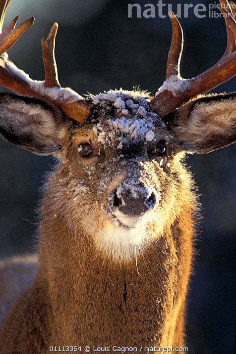 Male Whitetail deer head portrait {Odocoileus virginianus} Anticosta Is,, MALES,MAMMALS,NORTH AMERICA,QUEBEC,CANADA,SNOW,WINTER,ARTIODACTYLA,PORTRAITS, Louis Gagnon