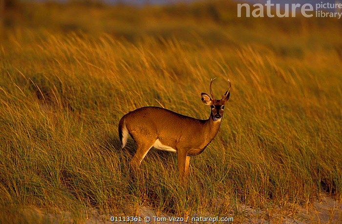 Female Whitetail deer {Odocoileus virginianus} Long Is, New York, USA  ,  MAMMALS,FEMALES,ARTIODACTYLA,NORTH AMERICA,WATER,WILD  ,  Tom Vezo