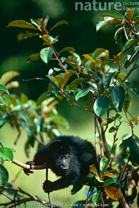 Mantled Howler Monkey {Alouatta palliata} Belize, Central America NHU Programme Publicity  ,  HOWLER MONKEYS,MAMMALS,MONKEYS,PRIMATES,PUBLICITY,VERTEBRATES,VERTICAL  ,  Phil Savoie
