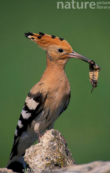 Hoopoe with insect prey in beak, portrait {Upupa epops} Spain  ,  EUROPE,HOOPOES,BIRDS,VERTICAL,FEEDING,BIRD  ,  Jose B. Ruiz