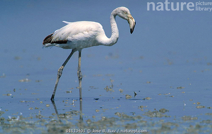 Greater flamingo juvenile {Phoenicopterus ruber} Laguna de Fuentepiedra NP, Spain  ,  EUROPE,LAKES,BIRDS,COASTS,FLAMINGOES,FLAMINGOS,FEEDING,WETLANDS  ,  Jose B. Ruiz