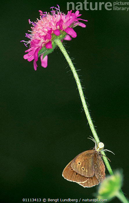 Spider catching Meadow brown butterfly {Maniola jurtina} on flower stalk, Sweden  ,  BUTTERFLIES,EUROPE,PREDATES,SCANDINAVIA,INVERTEBRATES,FEEDING,INSECT,ARACHNIDS,MIXED SPECIES,BEHAVIOUR,FLOWERS,INSECTS,PREDATION,SPIDERS  ,  Bengt Lundberg