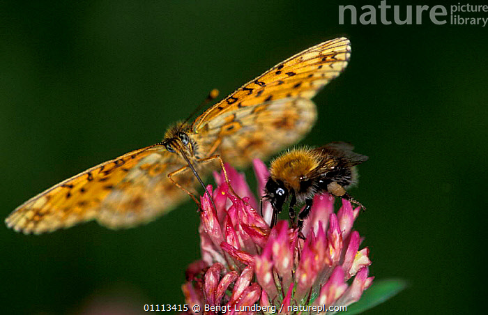 High brown fritillary butterfly {Argynnis adippe} + Bumble bee feed on flower nectar, Sweden  ,  CLOSE UPS,EUROPE,INSECTS,OUTSTANDING,FLOWERS,MIXED SPECIES,SCANDINAVIA,BEES,FEEDING,INSECT,INVERTEBRATES,LEPIDOPTERA,PROBOSCIS,BUTTERFLIES  ,  Bengt Lundberg