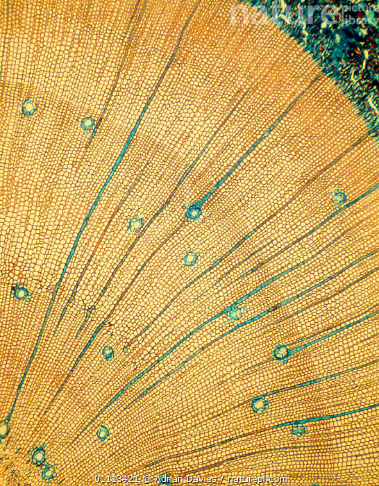 Photomicrograph (mag x 50) of growth rings on tree.  ,  MAG,PLANTS,TREE,VERTICAL,MICROGRAPH,TREES,MAGNIFICATION,PHOTO,INTERESTING  ,  Adrian Davies
