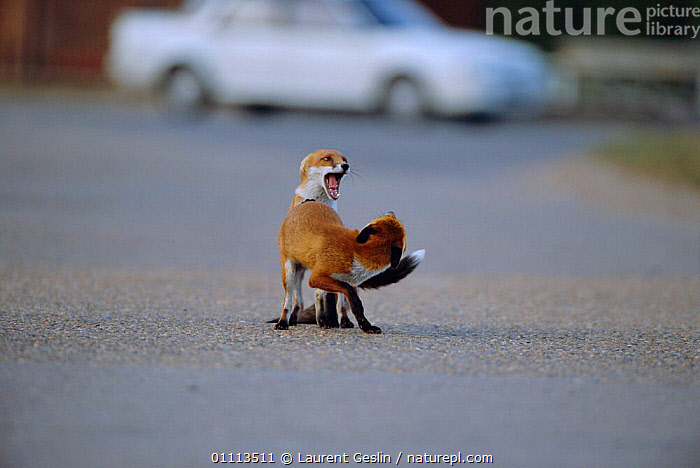 Urban Red fox juveniles play fighting on road {Vulpes vulpes} London, UK  ,  ACTION,BEHAVIOUR,CARNIVORES,CITIES,ENGLAND,EUROPE,FIGHTING,FOXES,HORIZONTAL,JUVENILES,LONDON,MAMMALS,PLAY,ROADS,UK,URBAN,WILDLIFE,UNITED KINGDOM,AGGRESSION,COMMUNICATION,BRITISH,DOGS,CANIDS,Concepts, United Kingdom  ,  Laurent Geslin