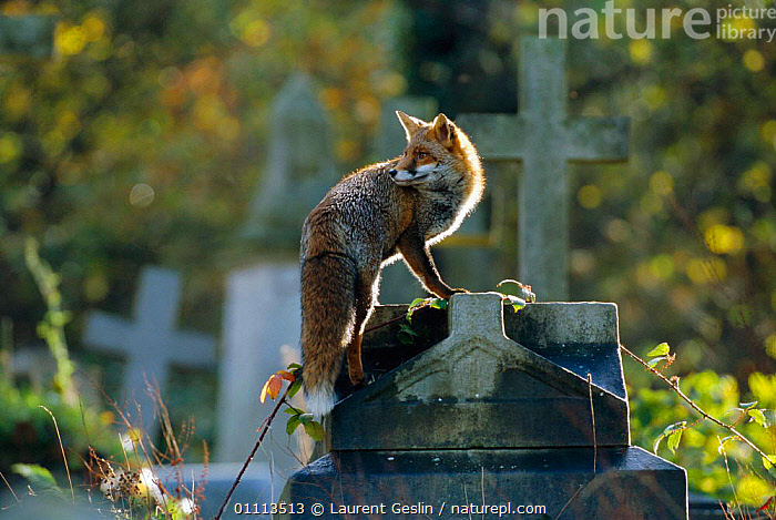 Urban Red fox on tomb in graveyard {Vulpes vulpes} London, UK  ,  CARNIVORES,CHURCHYARD,CITIES,ENGLAND,EUROPE,FOXES,GRAVES,HORIZONTAL,LONDON,MAMMALS,UK,URBAN,WILDLIFE,UNITED KINGDOM,BRITISH,DOGS,CANIDS, United Kingdom  ,  Laurent Geslin
