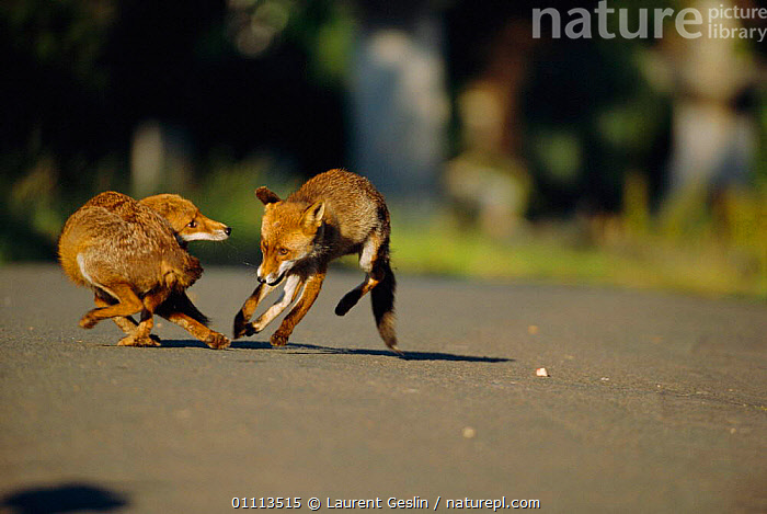 Two dominant male urban Red foxes fighting on road {Vulpes vulpes} London, UK  ,  ACTION,AGGRESSION,BEHAVIOUR,CARNIVORES,CITIES,DOMINANCE,ENGLAND,EUROPE,FIGHTING,FOXES,LONDON,MALES,MAMMAL,MAMMALS,ROADS,TERRITORIAL,TWO,UK,URBAN,WILDLIFE,UNITED KINGDOM,CONCEPTS,BRITISH,DOGS,CANIDS, United Kingdom  ,  Laurent Geslin