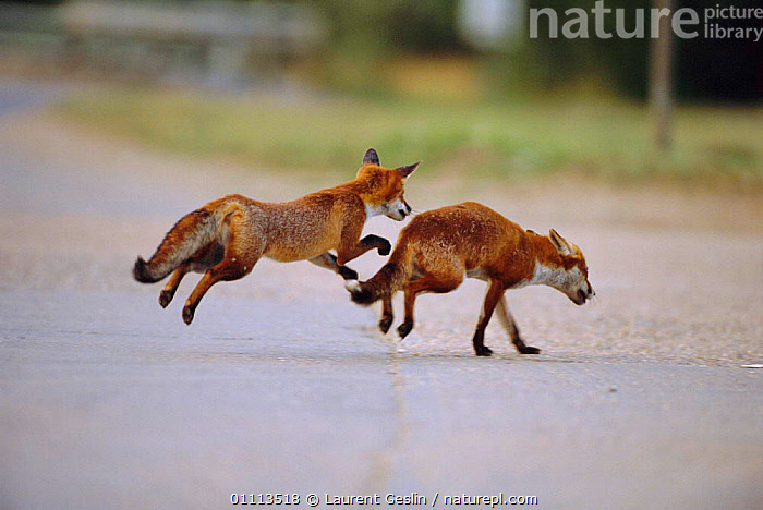 Juvenile urban Red fox trying to steal food from mother {Vulpes vulpes} London, UK  ,  ACTION,BEHAVIOUR,CARNIVORES,CITIES,ENGLAND,EUROPE,FAMILIES,FOXES,HORIZONTAL,JUVENILE,LONDON,MAMMALS,ROADS,TWO,UK,URBAN,WILDLIFE,UNITED KINGDOM,BRITISH,DOGS,CANIDS, United Kingdom  ,  Laurent Geslin