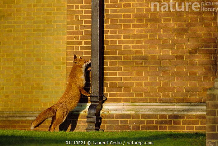 Urban Red fox sniffing downpipe on side of house {Vulpes vulpes} London, UK  ,  BEHAVIOUR,BUILDINGS,CARNIVORES,CITIES,ENGLAND,EUROPE,FOXES,HORIZONTAL,LONDON,MAMMALS,UK,URBAN,WILDLIFE,UNITED KINGDOM,BRITISH,DOGS,CANIDS, United Kingdom  ,  Laurent Geslin