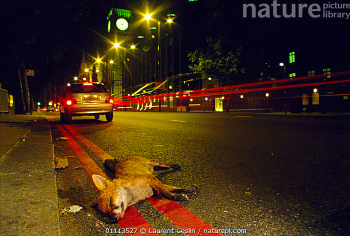 Urban Red fox {Vulpes vulpes} dead on road, killed by car, near Big Ben, London, UK  ,  BUILDINGS,CARNIVORES,CITIES,DEATH,EMBANKMENT,ENGLAND,EUROPE,FOXES,HORIZONTAL,LIGHTS,LONDON,MAMMALS,NIGHT,ROADS,TRAFFIC,UK,URBAN,WILDLIFE,UNITED KINGDOM,BRITISH,DOGS,CANIDS, United Kingdom  ,  Laurent Geslin