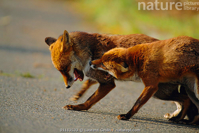 Resident female urban Red fox repelling intruder male {Vulpes vulpes} London, UK  ,  ACTION,AGGRESSION,BEHAVIOUR,CARNIVORES,COMMUNICATION,ENGLAND,EUROPE,FIGHTING,FOXES,HORIZONTAL,LONDON,MAMMALS,ROADS,TERRITORIAL,TWO,UK,URBAN,WILDLIFE,UNITED KINGDOM,CONCEPTS,BRITISH,DOGS,CANIDS, United Kingdom  ,  Laurent Geslin