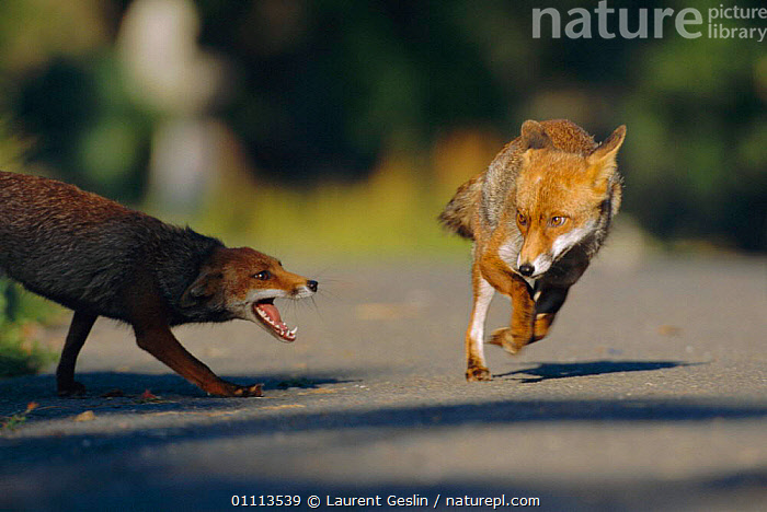 Female urban Red fox annoyed with male  {Vulpes vulpes} London, UK  ,  ACTION,AGGRESSION,BEHAVIOUR,CARNIVORES,COMMUNIATION,ENGLAND,EUROPE,FEMALES,FOXES,HORIZONTAL,JUMPING,LONDON,MALE,MALE FEMALE PAIR,MAMMAL,MAMMALS,TWO,UK,URBAN,WILDLIFE,UNITED KINGDOM,CONCEPTS,BRITISH,DOGS,CANIDS, United Kingdom  ,  Laurent Geslin