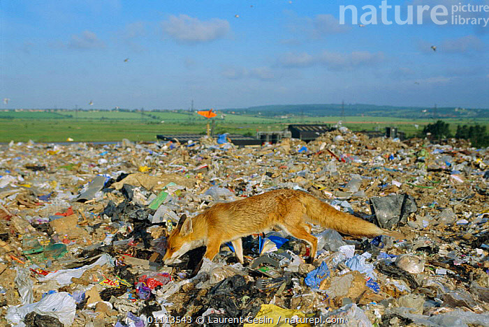 Urban Red fox scavenging on rubbish tip {Vulpes vulpes} London, UK  ,  BEHAVIOUR,CARNIVORES,CITIES,ENGLAND,EUROPE,FEEDING,FOXES,HORIZONTAL,LONDON,MAMMALS,REFUSE,RUBBISH,SCAVENGING,UK,URBAN,WILDLIFE,UNITED KINGDOM,BRITISH,DOGS,CANIDS, United Kingdom  ,  Laurent Geslin