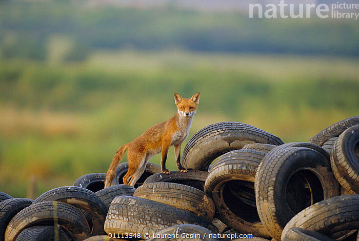 Male urban Red fox on tyre dump {Vulpes vulpes} London, UK  ,  BRITISH,CARNIVORES,CITIES,ENGLAND,EUROPE,FOXES,HORIZONTAL,LONDON,MALES,MAMMALS,REFUSE,RUBBISH,TYRES,UK,URBAN,WILDLIFE,UNITED KINGDOM,DOGS,CANIDS, United Kingdom  ,  Laurent Geslin