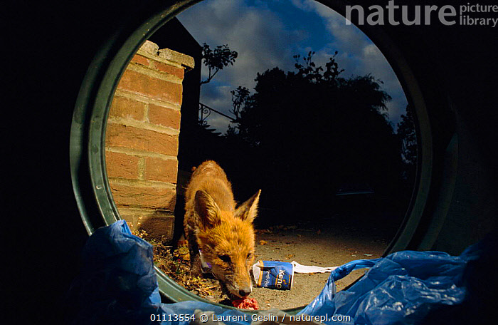 Mangy urban Red fox feeding on rubbish from bin {Vulpes vulpes} London, UK  ,  BRITISH,CARNIVORES,CITIES,DISEASE,ENGLAND,EUROPE,FEEDING,FOXES,HORIZONTAL,LONDON,MAMMALS,MANGE,NIGHT,REFUSE,UK,URBAN,WILDLIFE,UNITED KINGDOM,DOGS,CANIDS, United Kingdom, United Kingdom, United Kingdom, United Kingdom,Catalogue1F  ,  Laurent Geslin