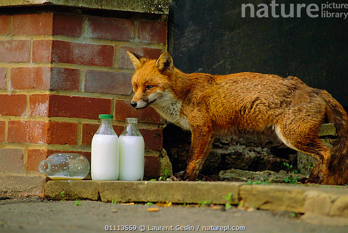 Urban Red fox on doorstep with milk bottles {Vulpes vulpes} London, UK  ,  BRITISH,BUILDINGS,CARNIVORES,CITIES,ENGLAND,EUROPE,FOXES,HORIZONTAL,LONDON,MAMMALS,MILK,UK,URBAN,WILDLIFE,UNITED KINGDOM,DOGS,CANIDS, United Kingdom  ,  Laurent Geslin