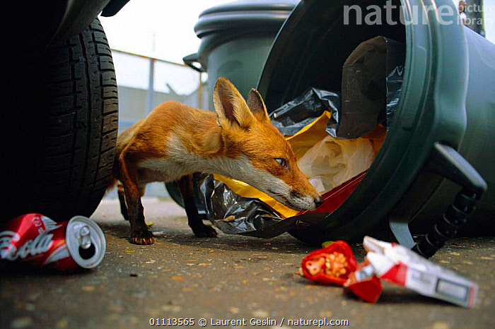Urban Red fox scavenging in dustbin {Vulpes vulpes} London, UK  ,  CARNIVORES,CITIES,ENGLAND,EUROPE,FEEDING,FOXES,HORIZONTAL,LONDON,MAMMALS,REFUSE,RUBBISH,SCAVENGING,UK,URBAN,UNITED KINGDOM,BRITISH,DOGS,CANIDS, United Kingdom  ,  Laurent Geslin