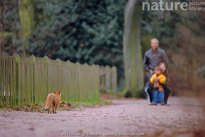 People watch urban Red fox in city park {Vulpes vulpes} London, UK  ,  BRITISH,CARNIVORES,CITIES,ENGLAND,EUROPE,FOXES,HORIZONTAL,LONDON,MAMMALS,PARKS,PEOPLE,UK,URBAN,WATCHING,WILDLIFE,UNITED KINGDOM,DOGS,CANIDS, United Kingdom  ,  Laurent Geslin