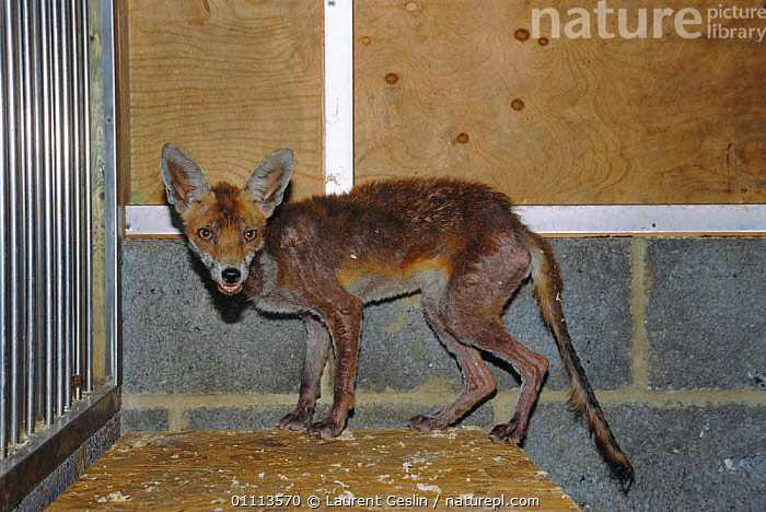 Urban Red fox suffering from acute mange {Vulpes vulpes} Rehabilitation centre, London, UK  ,  CAPTIVE,CARNIVORES,DISEASE,ENGLAND,EUROPE,FOXES,HORIZONTAL,MAMMAL,MAMMALS,MANGE,SUFFERING,UK,URBAN,UNITED KINGDOM,BRITISH,DOGS,CANIDS, United Kingdom  ,  Laurent Geslin