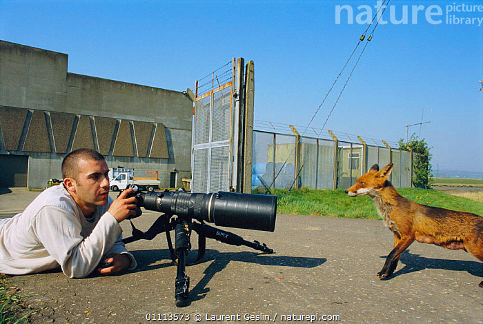 Photographer Laurent Geslin photographing habituated urban Red fox cub {Vulpes vulpes} London, UK  ,  BRITISH,CAMERA,CARNIVORES,ENGLAND,EUROPE,FOXES,HORIZONTAL,MAMMALS,PEOPLE,PHOTOGRAPHY,TAME,UK,URBAN,WILDLIFE,UNITED KINGDOM,DOGS,CANIDS, United Kingdom  ,  Laurent Geslin
