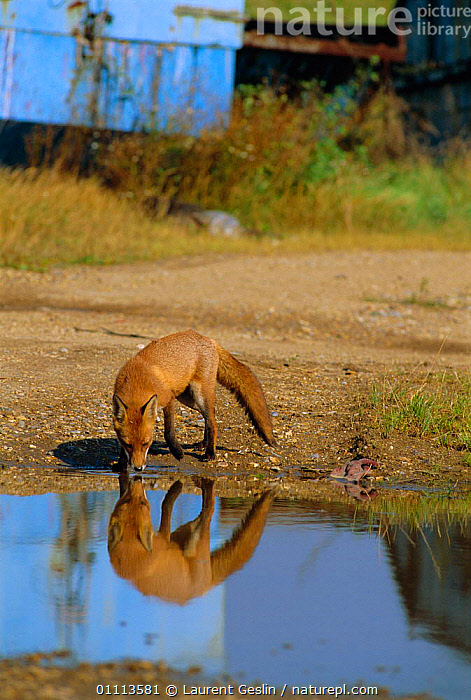 Urban Red fox drinking {Vulpes vulpes} London, UK  ,  BRITISH,CARNIVORES,DRINKING,ENGLAND,EUROPE,FOXES,LONDON,MAMMALS,UK,URBAN,VERTICAL,WASTELAND,WILDLIFE,UNITED KINGDOM,DOGS,CANIDS, United Kingdom  ,  Laurent Geslin