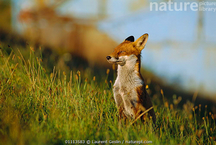 Urban Red fox sitting {Vulpes vulpes} London, UK  ,  CARNIVORES,ENGLAND,EUROPE,FOXES,HORIZONTAL,LONDON,MAMMALS,UK,URBAN,UNITED KINGDOM,BRITISH,DOGS,CANIDS, United Kingdom  ,  Laurent Geslin