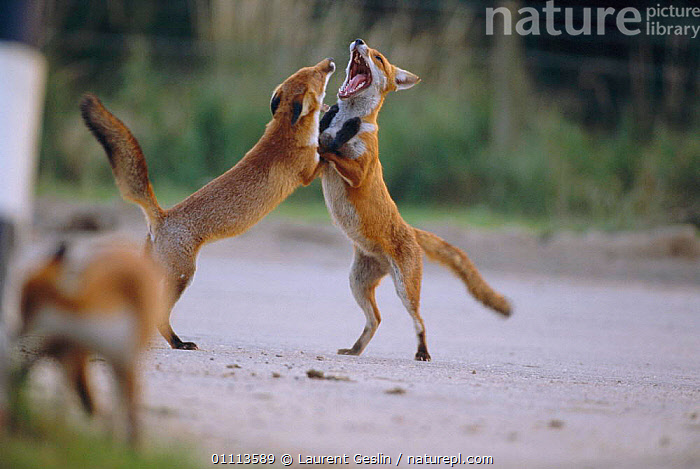 Two urban Red foxes fighting {Vulpes vulpes} London, UK  ,  ACTION,AGGRESSION,BEHAVIOUR,CARNIVORES,CITIES,DOMINANCE,ENGLAND,EUROPE,FIGHTING,FOXES,HORIZONTAL,LONDON,MAMMALS,TWO,UK,URBAN,WILDLIFE,UNITED KINGDOM,CONCEPTS,BRITISH,DOGS,CANIDS, United Kingdom  ,  Laurent Geslin