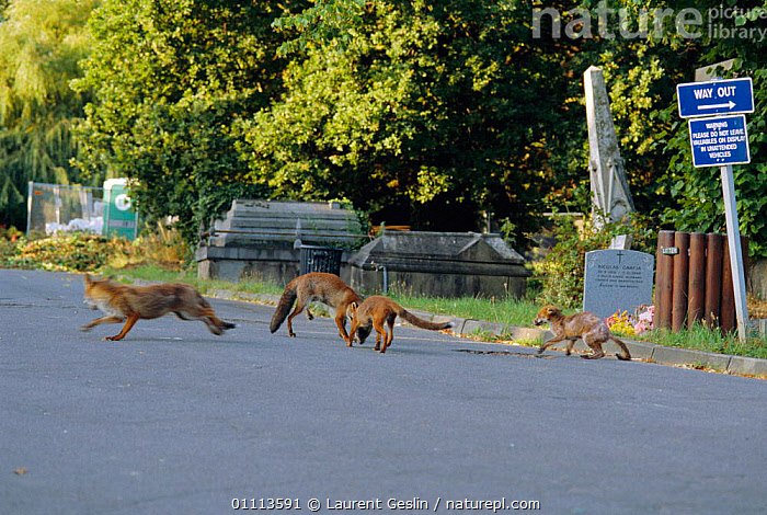 Urban Red foxes fighting at overlap area where three fox territories meet {Vulpes vulpes} London, UK  ,  ACTION,AGGRESSION,BEHAVIOUR,CARNIVORES,CITIES,ENGLAND,EUROPE,FIGHTING,FOXES,HORIZONTAL,INTERESTING,LONDON,MAMMALS,POPULATION,TERRITORIAL,UK,URBAN,WILDLIFE,UNITED KINGDOM,CONCEPTS,BRITISH,DOGS,CANIDS, United Kingdom  ,  Laurent Geslin