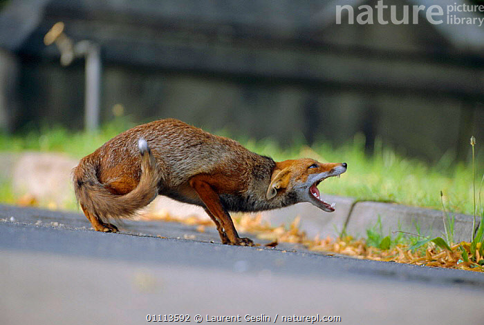 Urban Red fox in submissive posture {Vulpes vulpes} London, UK  ,  BEHAVIOUR,CARNIVORES,CITIES,COMMUNICATION,ENGLAND,EUROPE,FOXES,HORIZONTAL,LONDON,MAMMALS,POSTURE,SUBMISSION,UK,URBAN,WILDLIFE,UNITED KINGDOM,BRITISH,DOGS,CANIDS, United Kingdom  ,  Laurent Geslin