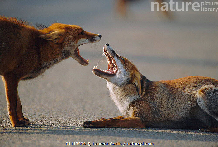 Two male urban Red foxes, mouths open,  one in submissive posture {Vulpes vulpes} London, UK  ,  AGGRESSION,BEHAVIOUR,CARNIVORES,CITIES,COMMUNICATION,CONFRONTATION,DOMINANCE,ENGLAND,EUROPE,FOXES,HORIZONTAL,INTERESTING,LONDON,MALE,MAMMALS,ONE,POSTURE,SUBMISSION,TWO,UK,URBAN,WILDLIFE,UNITED KINGDOM,CONCEPTS,BRITISH,DOGS,CANIDS, United Kingdom,Hierarchy,Hierarchical,,Nature reclamation  ,  Laurent Geslin