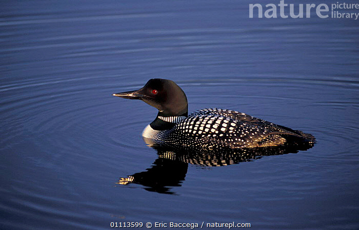 Great northern diver {Gavia immer} Alaska, USA  ,  BIRD,BIRDS,DIVERS,LOON,WATERFOWL,NORTH AMERICA,COMMON  ,  Eric Baccega