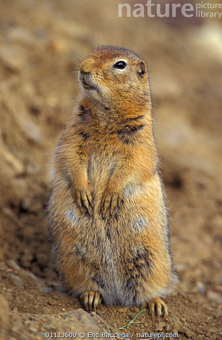 Parry's / Arctic ground squirrel {Spermophilus parryii} Alaska, USA  ,  NORTH AMERICA,RODENTS,MAMMAL,PARRY,PORTRAITS,RODENT,MAMMALS,SQUIRRELS  ,  Eric Baccega