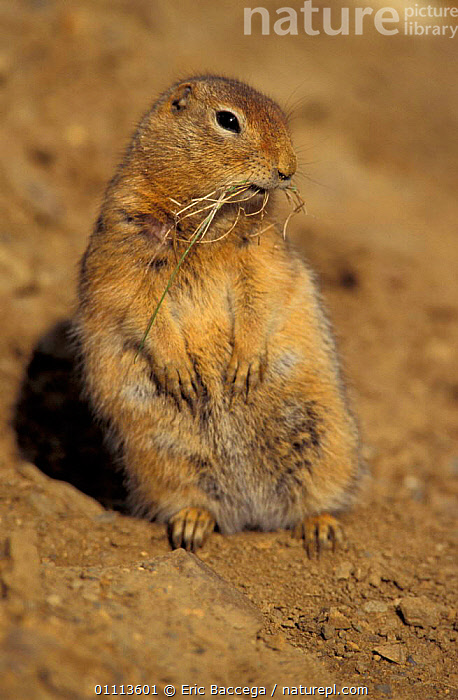 Parry's / Arctic ground squirrel {Spermophilus parryii} Alaska, USA  ,  PARRY,RODENTS,MAMMALS,SQUIRRELS,NORTH AMERICA  ,  Eric Baccega