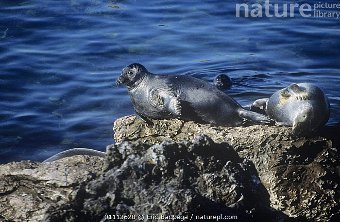 Baikal seals {Pusa sibirica} hauled out on rock beside Lake Baikal, Siberia, Russia  ,  CARNIVORES,GROUPS,LAKES,MAMMALS,PINNIPEDS,RUSSIA,SEALS,VERTEBRATES, CARNIVORES  ,  Eric Baccega