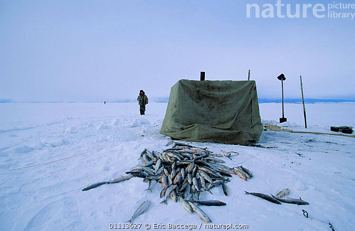 Fish catch of fisherman with tent over ice hole on Lake Baikal, Siberia, Russia  ,  WINTER,FROZEN,LANDSCAPE,LANDSCAPES,MEN,PEOPLE,FISHING,LAKES ,RUSSIA,CIS  ,  Eric Baccega