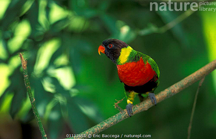 Rainbow lorikeet {Trichoglossus haematodus mitchellii} occurs Indonesia  ,  LORIKEETS,BIRD,BIRDS,COLOURFUL,PARROTS,SUBSPECIES  ,  Eric Baccega