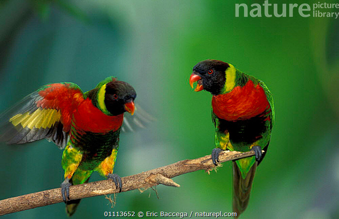 Two Rainbow lorikeets {Trichoglossus haematodus mitchelii} occurs Indonesia  ,  BEHAVIOUR,BIRD,COLOURFUL,PARROTS,BIRDS,COMMUNICATION,VOCALISATION,SUBSPECIES  ,  Eric Baccega