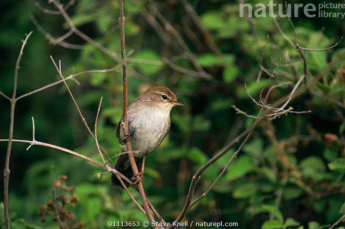 Cetti's warbler {Cettia cetti} perching on branch.  ,  BIRDS,BRANCHES,EUROPE,HORIZONTAL,PRINIAS,VERTEBRATES,WARBLERS  ,  Steve Knell