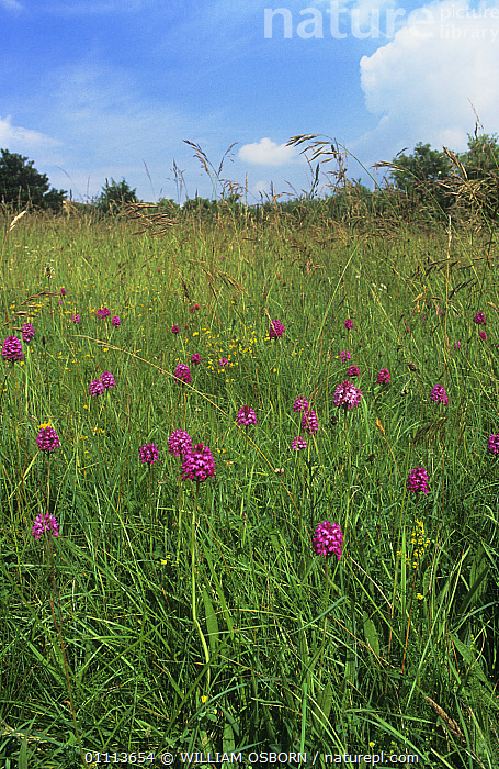 Pyramidal orchid (Anacamptis pyramidalis) flowering in meadow,  England  ,  COLOURFUL,ENGLAND,EUROPE,FLOWERS,GRASSES,GRASSLAND,LANDSCAPES,MONOCOTYLEDONS,ORCHIDACEAE,PINK,PLANTS,PURPLE,SEEDS,SKY,SUMMER,UK,VERTICAL,YELLOW,United Kingdom  ,  WILLIAM OSBORN