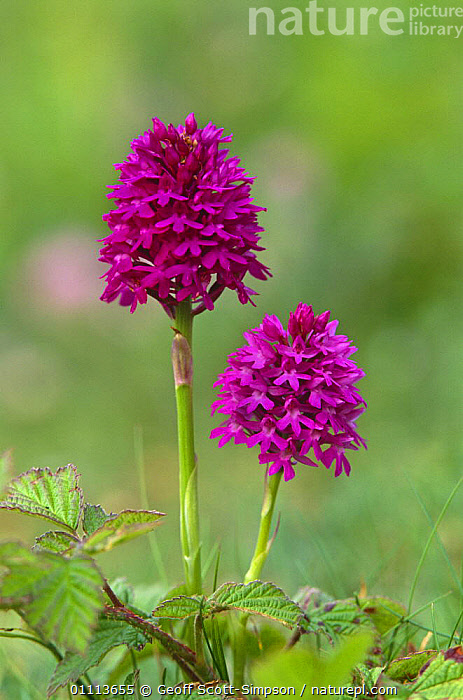 Pyrimidal orchid {Anacamptis pyramidalis}. Ainsdale sand dunes NNR, Lancashire, UK.  ,  ENGLAND,FLOWERS,LEAVES,MONOCOTYLEDONS,ORCHIDACEAE,PINK,PLANTS,PURPLE,RESERVE,SUMMER,UK,VERTICAL,Europe,United Kingdom,British  ,  Geoff Scott-Simpson