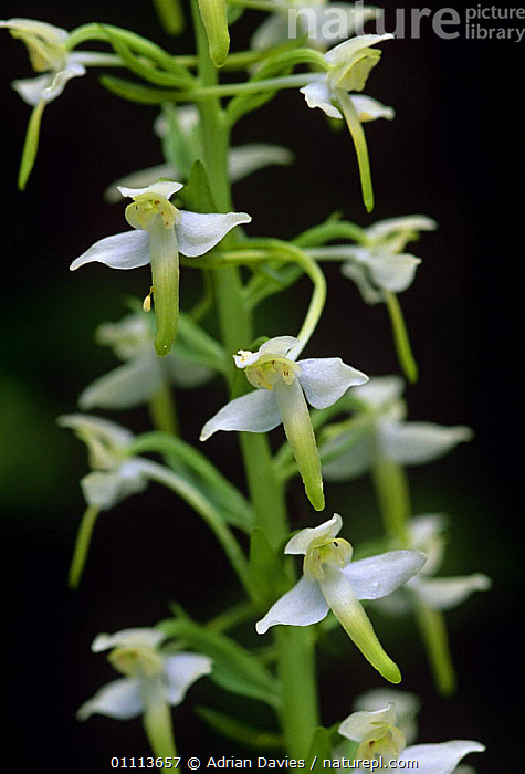 Lesser butterfly orchid {Platanthera bifolia} South England, June.  ,  ABSTRACT,ENGLAND,EUROPE,FLOWERS,LEAVES,MONOCOTYLEDONS,ORCHIDACEAE,PLANTS,SUMMER,UK,VERTICAL,WHITE,United Kingdom,British  ,  Adrian Davies