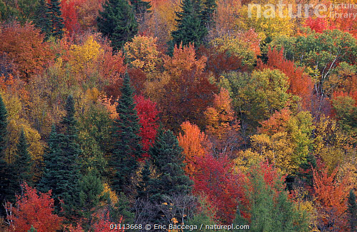 Aerial view mixed woodland in fall autumn, Foret des Laurentides, Quebec, Canada  ,  ABSTRACTS,LANDSCAPE,NORTH AMERICA,WOODLANDS,CHANGE,LANDSCAPES,PATTERNS ,CANADA ,AERIALS  ,  Eric Baccega