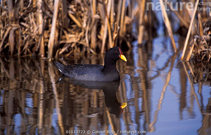 Red-fronted coot {Fulica rufifrons} Argentina  ,  WATERFOWL,BIRD,BIRDS,COOTS,SOUTH AMERICA,WETLANDS  ,  Gabriel Rojo