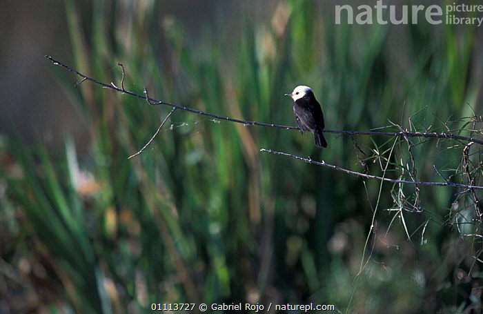 White headed marsh tyrant {Arundinicola leucocephala} Ibera marshes, Argentina  ,  BIRD,BIRDS,SOUTH AMERICA,WETLANDS,FLUVICOLA  ,  Gabriel Rojo