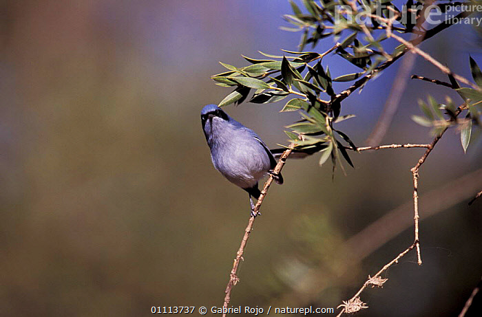 Masked gnatcatcher {Polioptila dumicola} Argentina  ,  BIRD,BIRDS,SOUTH AMERICA,GNATCATCHERS  ,  Gabriel Rojo