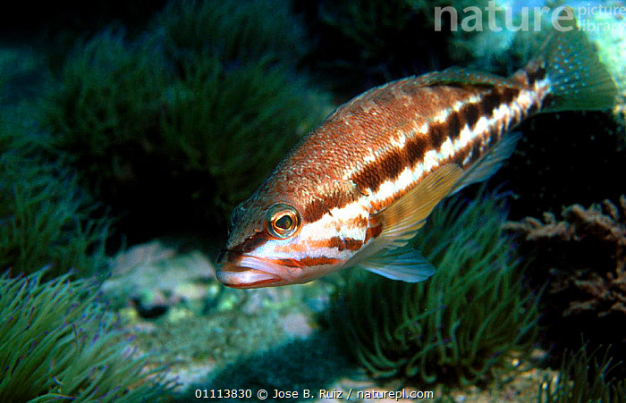Blacktail comber fish {Serranus atricauder} Spain Alboran sea, Mediterranean  ,  EUROPE,FISH,HORIZONTAL,MARINE,MEDITERRANEAN,TEMPERATE,UNDERWATER  ,  Jose B. Ruiz