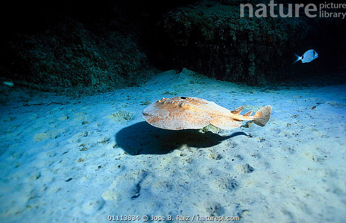 Marbled electric ray {Torpedo marmorata} Mediterranean  ,  EUROPE,FISH,HORIZONTAL,MARINE,MEDITERRANEAN,RAYS,SWIMMING,TEMPERATE,UNDERWATER  ,  Jose B. Ruiz