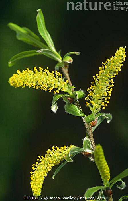 Male flower of crack willow {Salix fragilis}. Anglezarke, Lancashire.  ,  DICOTYLEDONS,ENGLAND,EUROPE,FLOWERS,FOUR,LEAVES,PLANTS,POLLEN,REPRODUCTION,SALICACEAE,THREE,TREES,UK,United Kingdom,British  ,  Jason Smalley