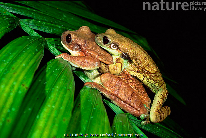 Marbled treefrog {Phrynohyas venulosa} Male and female in amplexus, Ecuadorian Amazon.  ,  AMPHIBIANS, Anura, BEHAVIOUR, FROGS, LEAVES, NOCTURNAL, REPRODUCTION, TREE-FROGS, TROPICAL, VERTEBRATES  ,  Pete Oxford